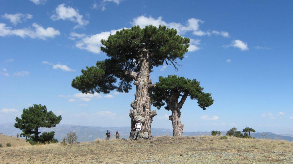 Kaynak: MD 11.09.2016 14:09 Daz Tepe evvelinde asırlık çam ağaçları.